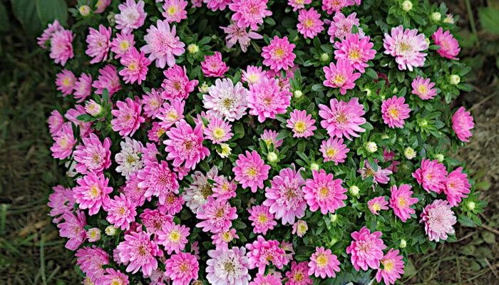 Bambina Light Rose Aster